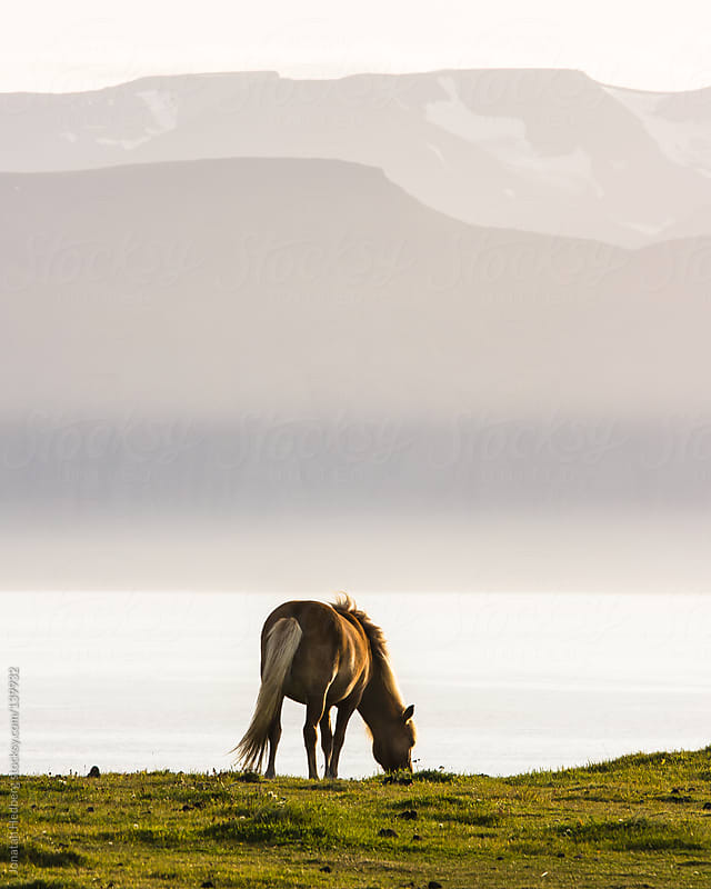 An icelandic horse grazing in the evening sun by Jonatan Hedberg for Stocksy United