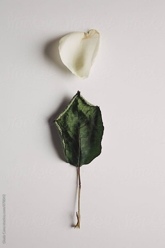 Dried rose on white background by Giada Canu for Stocksy United