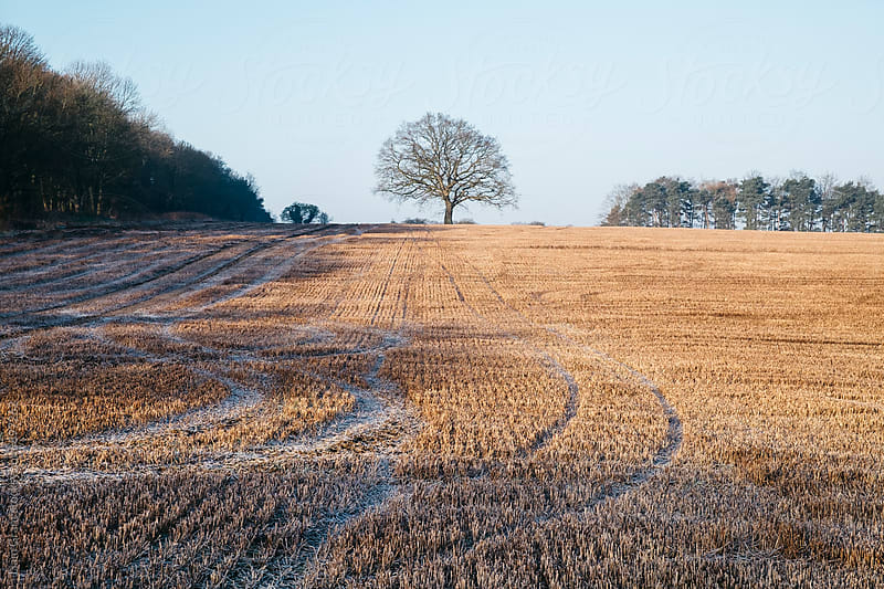 Tree and tracks in a frost covered stubble field at sunrise. Norfolk, UK. by Liam Grant for Stocksy United
