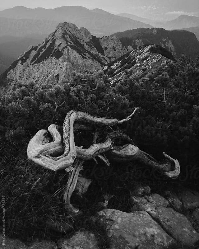 Big pine root in the mountains by Bor Cvetko for Stocksy United