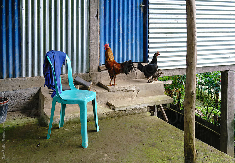 Rooster, Hen and Two Chicks in front of a Shed by Gary Radler Photography for Stocksy United