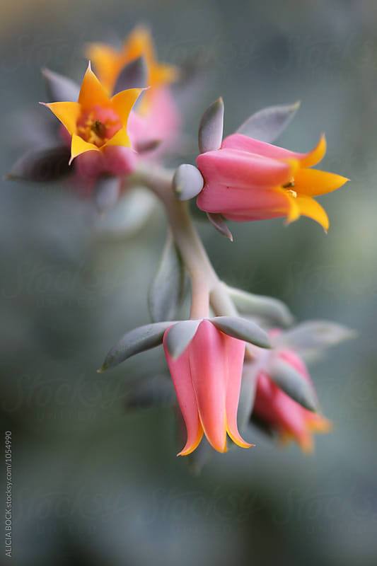 Detailed View Of Pink Echeveria Flowers by ALICIA BOCK for Stocksy United