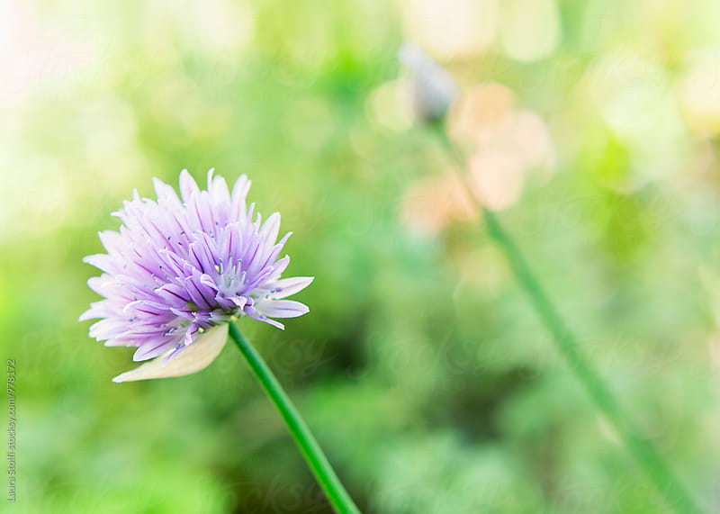 Chives flower and bud on the plant in the sun by Laura Stolfi for Stocksy United