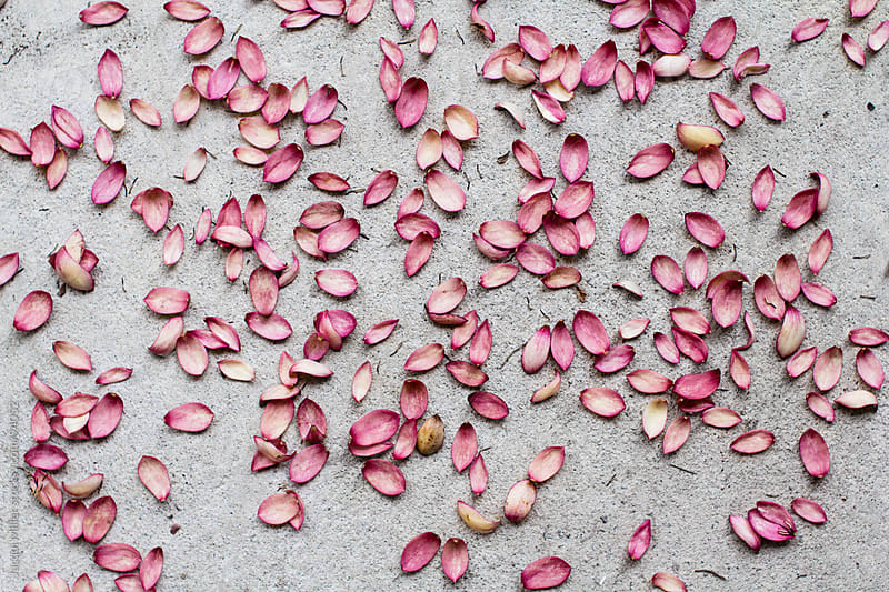 Pink petals by Jacqui Miller for Stocksy United