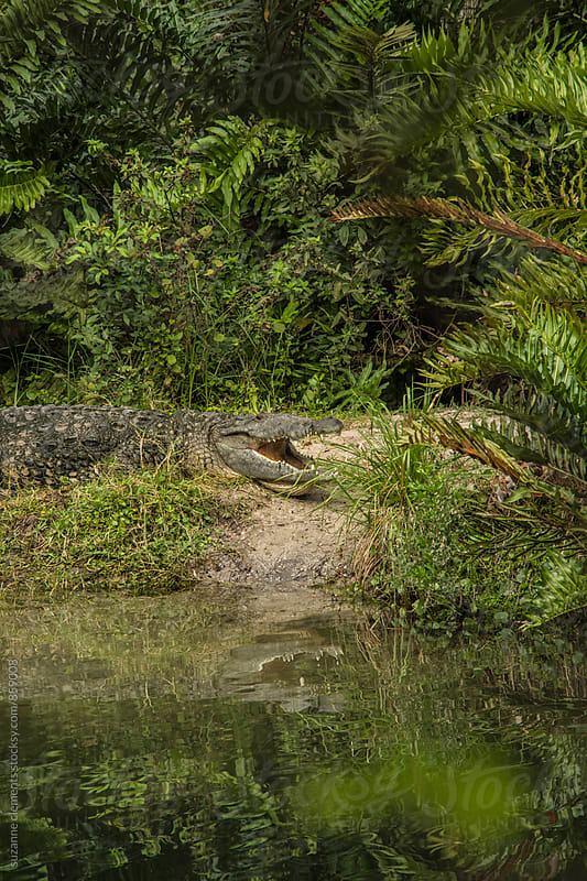 Wanna Swim? Florida Gator Warming in the Sun by suzanne clements for Stocksy United