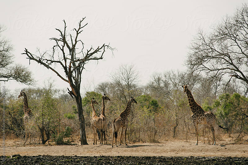 Giraffe at Waterhole by Bruce Meissner for Stocksy United
