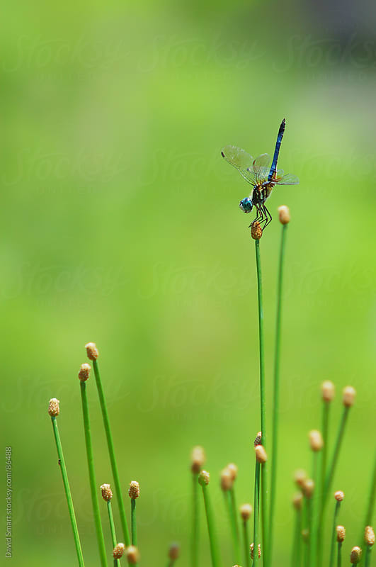Mature male blue dasher dragonfly in an obelisk posture by David Smart for Stocksy United