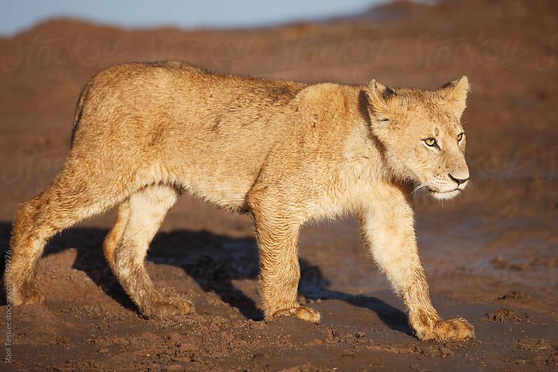 Lion Cub by Paul Tessier for Stocksy United