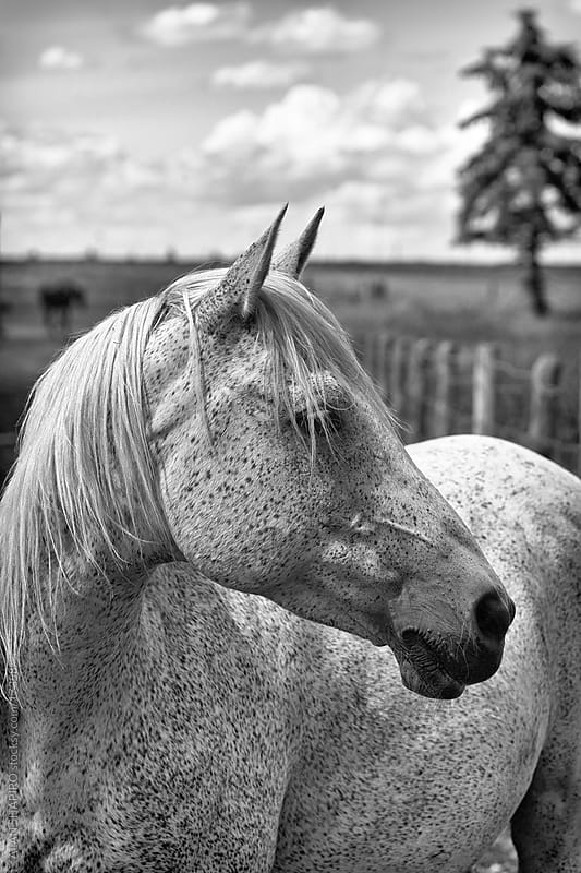 White Horse in profile by alan shapiro for Stocksy United