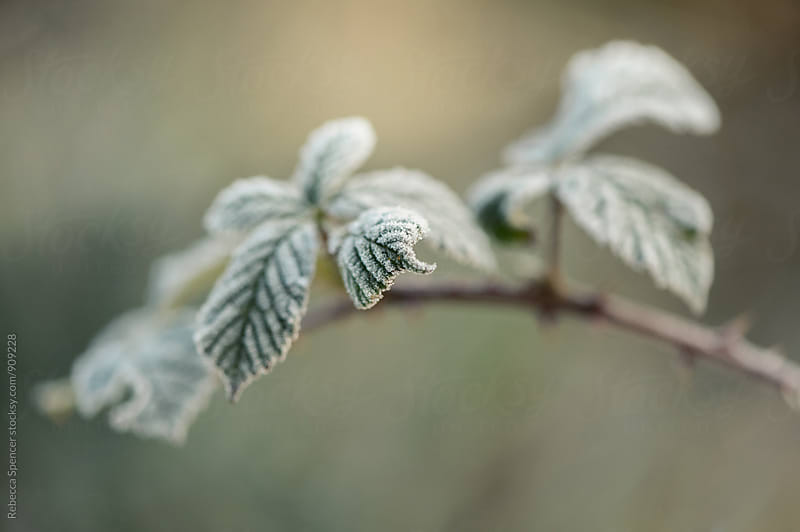 Close up of wild bramble leaves covered in frost.  by Rebecca Spencer for Stocksy United