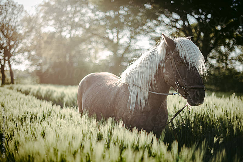 an icelandic horse in a corn field by Chris Zielecki for Stocksy United