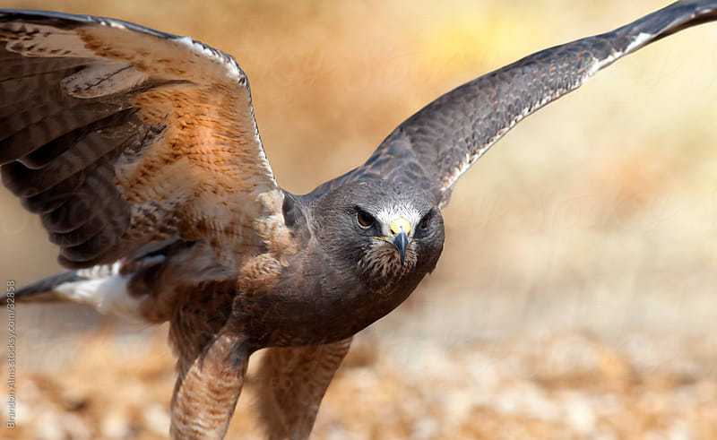 Closeup of a Swainson's Hawk Coming in for a Landing by Brandon Alms for Stocksy United