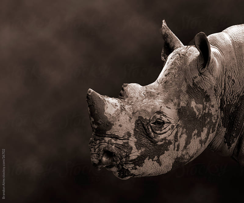 Endangered Black Rhinoceros Closeup Headshot by Brandon Alms for Stocksy United