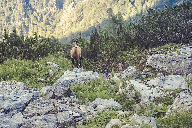 alpine chamois in the austrian alps by Leander Nardin for Stocksy United