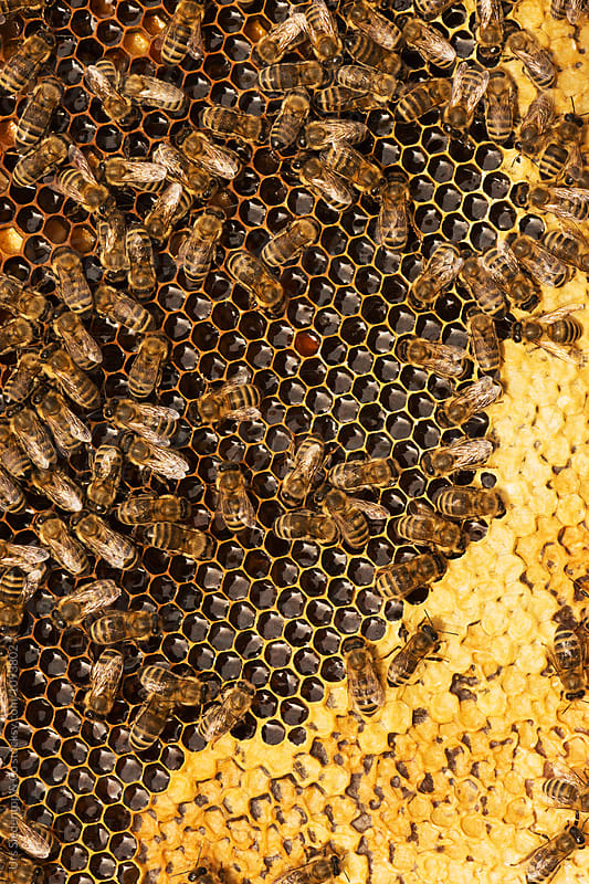 Bees work on honeycomb by Urs Siedentop & Co for Stocksy United