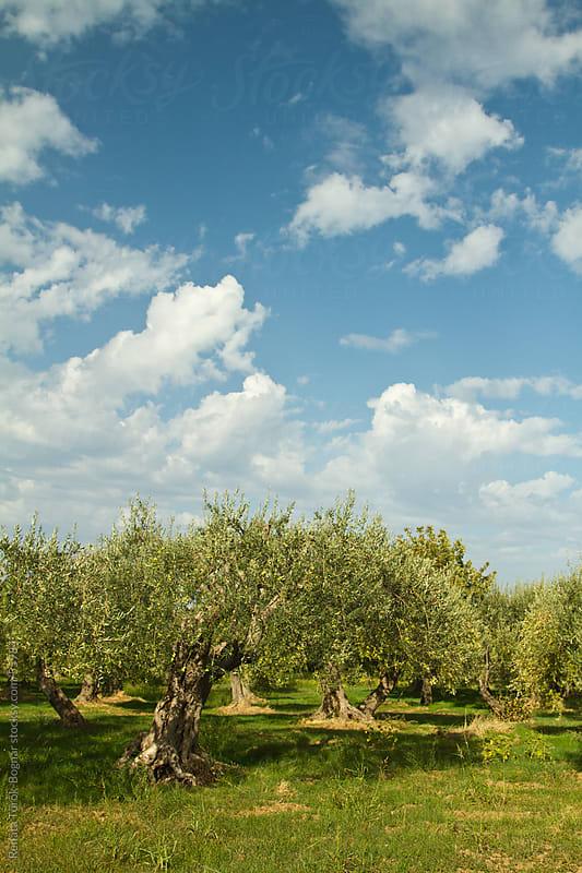 Olive field in Sicily by Török-Bognár Renáta for Stocksy United