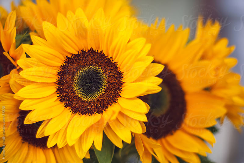 A bunch of sunflowers by Helen Sotiriadis for Stocksy United
