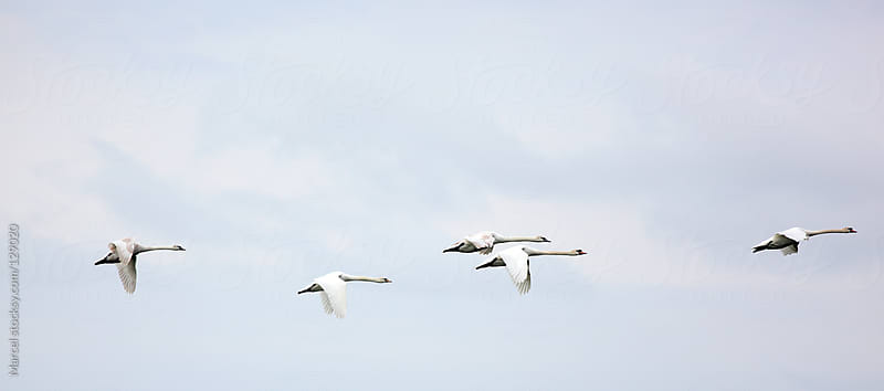 White swans in flight by Marcel for Stocksy United