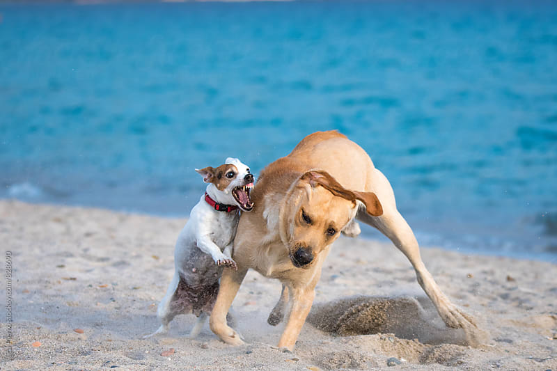 Little Jack Russel Terrier and Labrador playing on the beach by Luca Pierro for Stocksy United