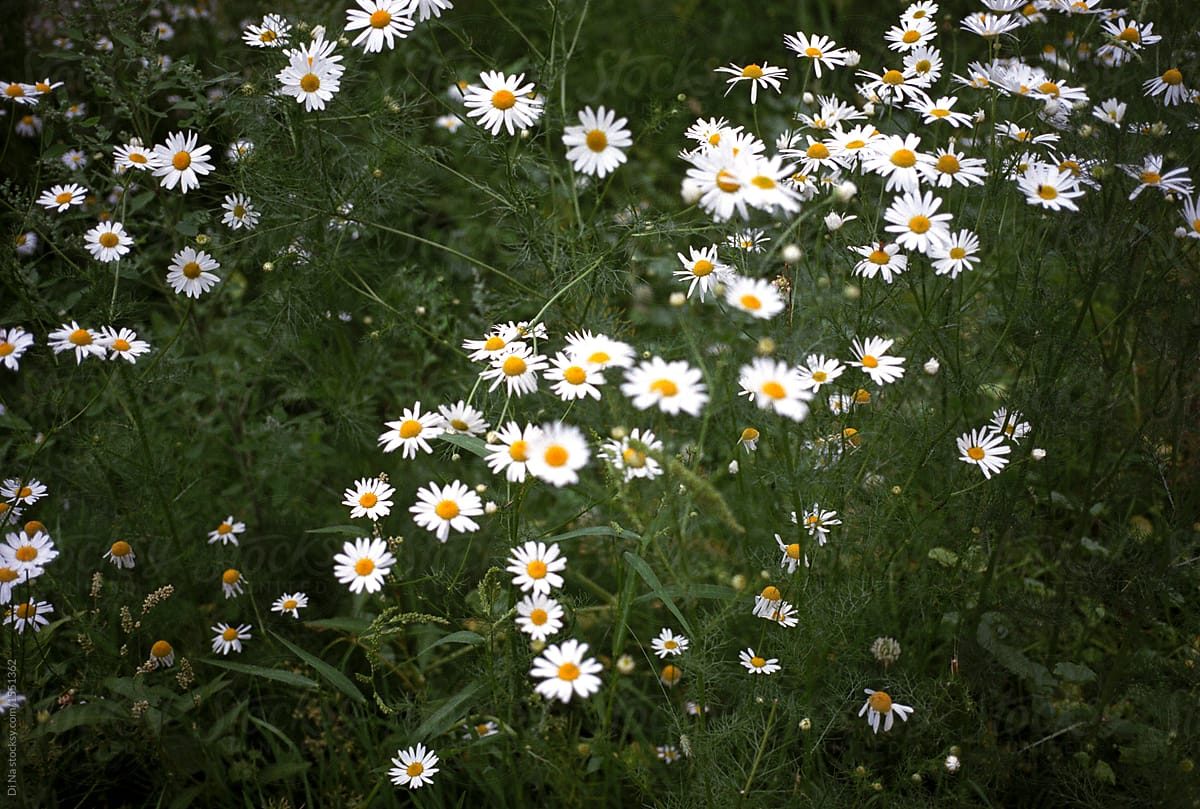 Daisy Flower Background Stocksy United