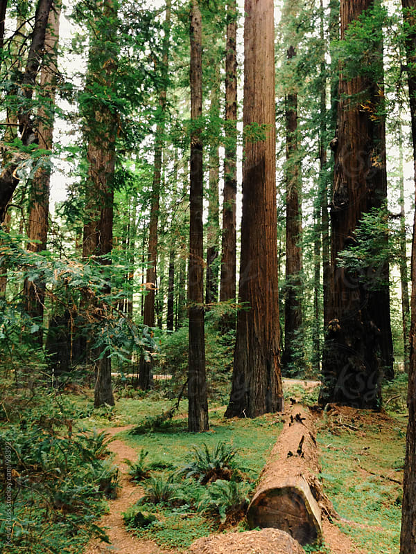 Redwood Trail by Kevin Russ for Stocksy United
