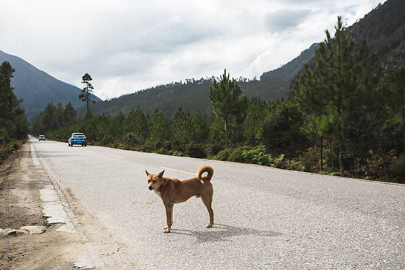 dog stand on the road in Tibet by zheng long for Stocksy United