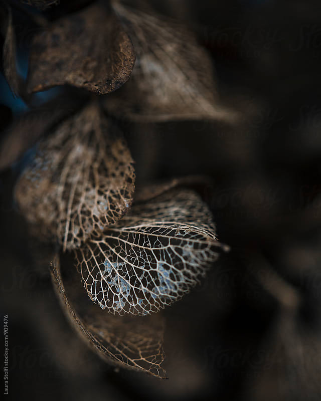 Withered and dried hydrangea flowers close up by Laura Stolfi for Stocksy United