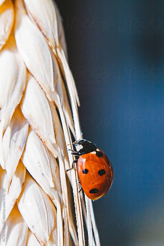 Ladybug climbing wheat by ACALU Studio for Stocksy United