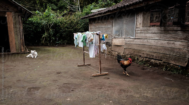 Dog and Rooster and Clothes Drying in an Asian Yard