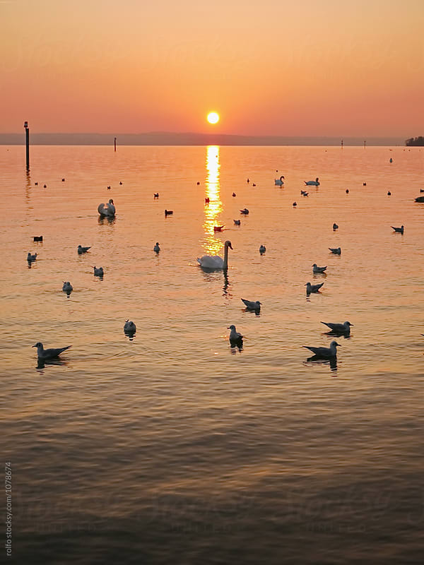 birds and ducks on lake with sunset by rolfo for Stocksy United