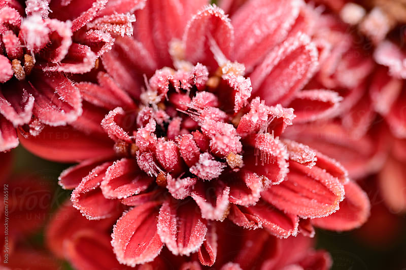 Frosted Flower by Rob Sylvan for Stocksy United
