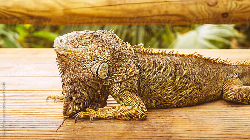Iguana sleeping by ACALU Studio for Stocksy United