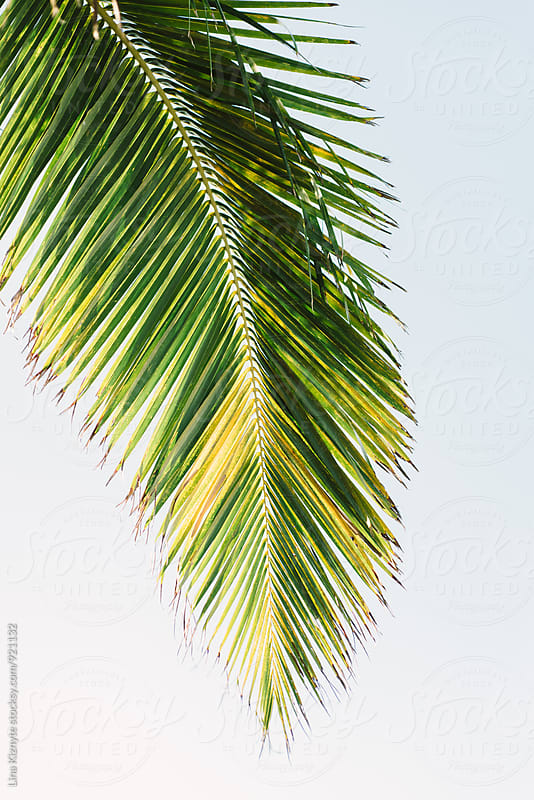 Palm Leaf on a white background by Lina Kiznyte for Stocksy United