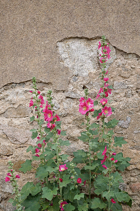 Hollyhock flowers in front of an old wall by Marcel for Stocksy United