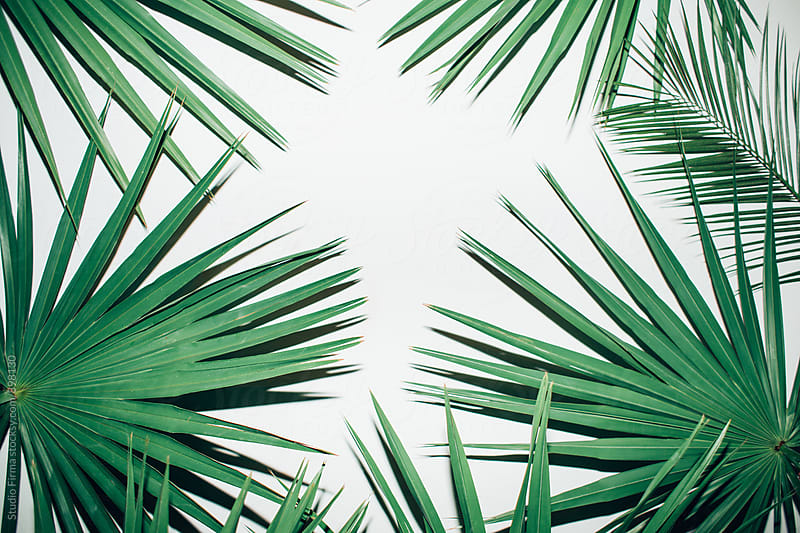 Palm leaves on a white background by Studio Firma for Stocksy United