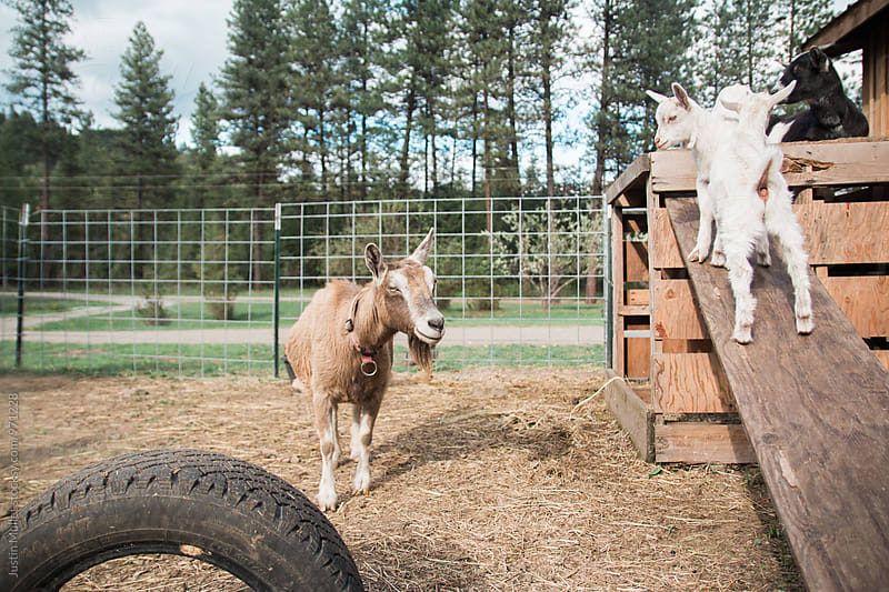 Goats playing in a barnyard by Justin Mullet for Stocksy United