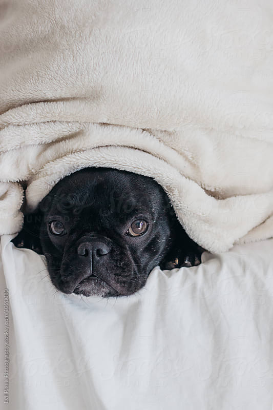 Cute french bulldog with blanket on the bed by Branislava Živić for Stocksy United