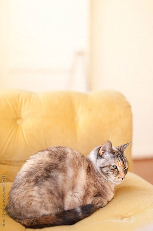 Calico Cat on a Yellow Couch by Briana Morrison for Stocksy United