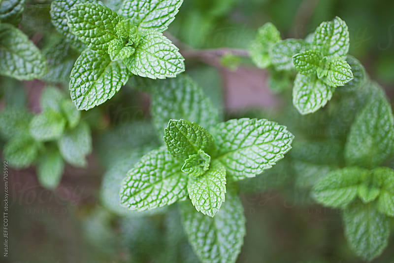 close up / macro of home grown, organic mint by Natalie JEFFCOTT for Stocksy United