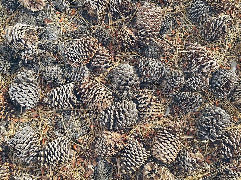 Ponderosa pine cones  by Paul Edmondson for Stocksy United