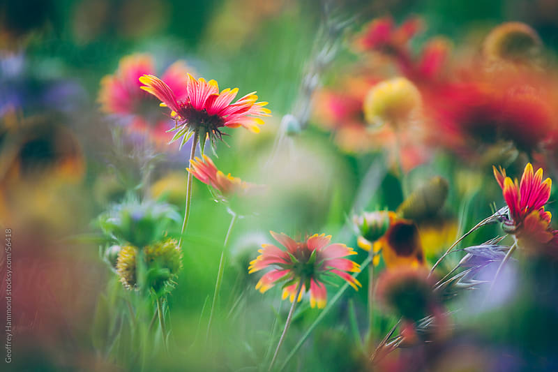 Central Texas Wildflowers, Focus on Firewheel or Indian Blanket by Geoffrey Hammond for Stocksy United