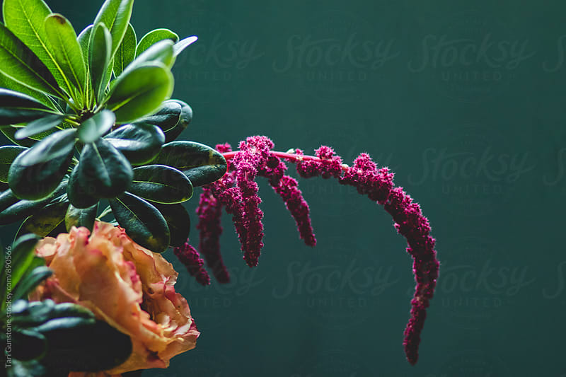 Brightly colored amaranth flower against teal backdrop by Tari Gunstone for Stocksy United