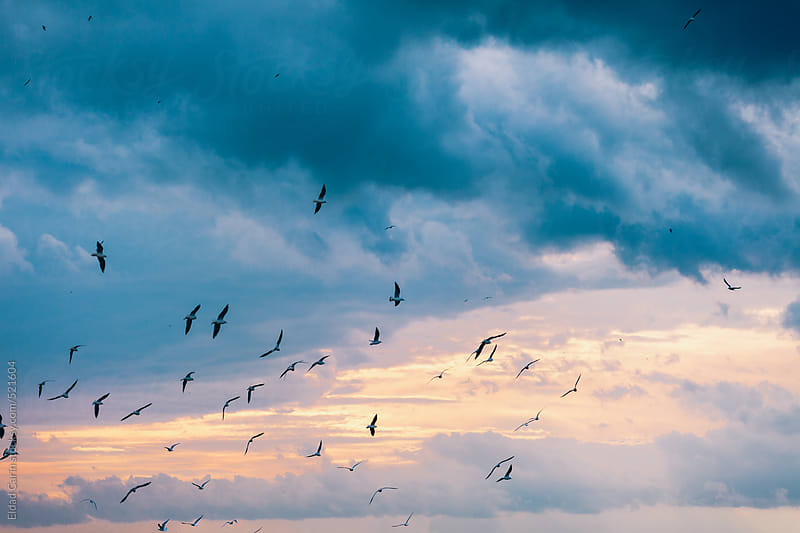 Flock of Seagulls with Cloudy Afternoon Sky by Eldad Carin for Stocksy United