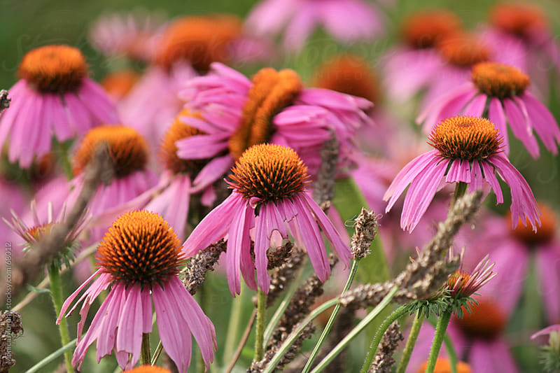 Field of pink Cone Flowers by Monica Murphy for Stocksy United
