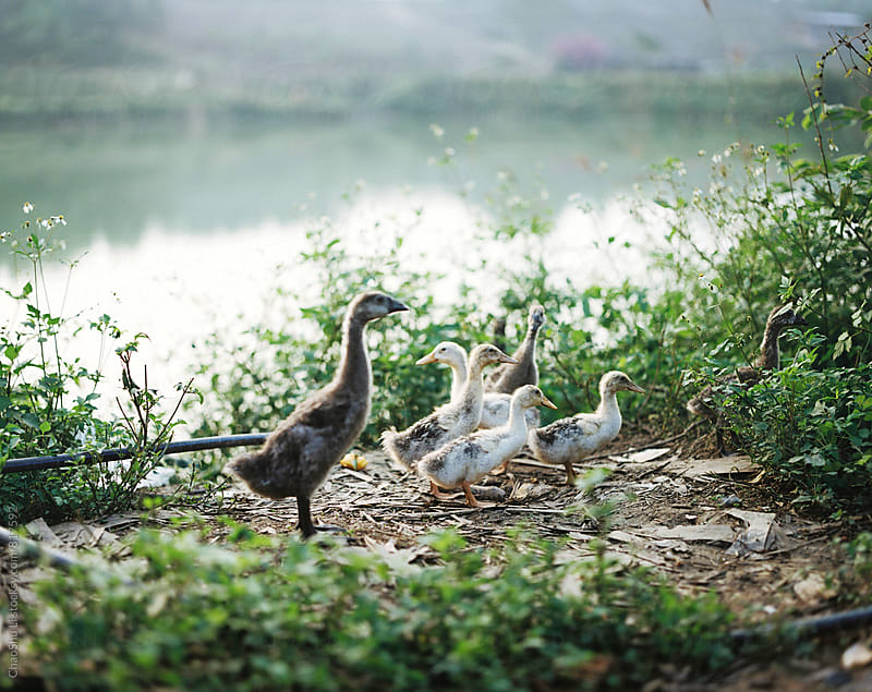 Ducks in the pond by ChaoShu Li for Stocksy United
