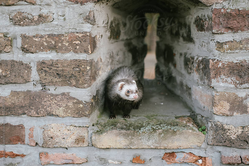 Little ferret on the brick wall by Brkati Krokodil for Stocksy United
