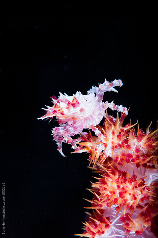 Soft coral crab stand on pink soft coral with black background by Song Heming for Stocksy United