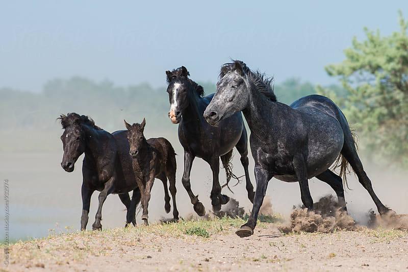Wild Horses in Danube Delta, Romania by Gabriel Ozon for Stocksy United