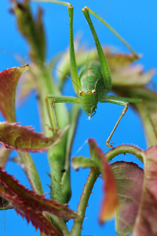 Green grasshopper on rose-branch in studiosetting by Marcel for Stocksy United