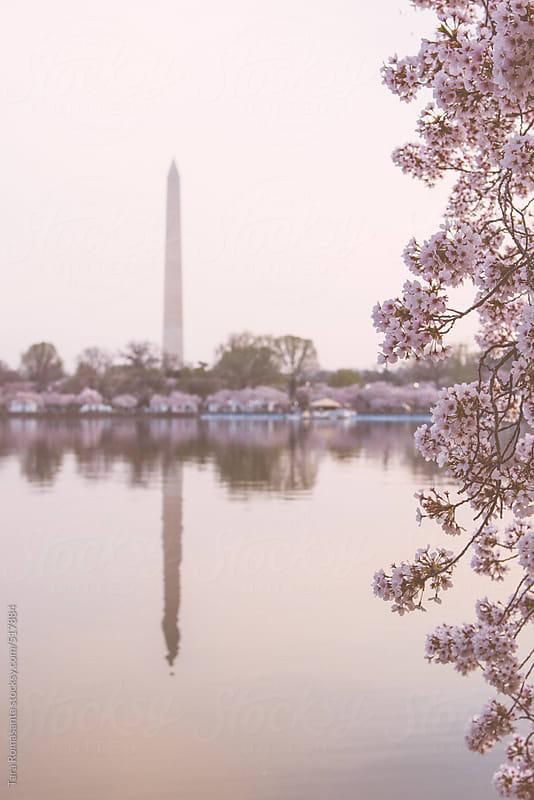 Washington Monument during the Cherry Blossom Festival in Washington. by Tara Romasanta for Stocksy United
